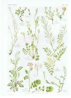 Gravure Flore PL. 43 Crucifères Cardamine Par Gaston Bonnier - Prints & Engravings