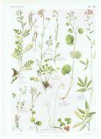Gravure Flore PL. 44 Crucifères Cardamine Dentaria Par Gaston Bonnier - Prints & Engravings