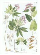 Gravure Flore PL. 45 Crucifères Dentaria Lunaria Par Gaston Bonnier - Prints & Engravings
