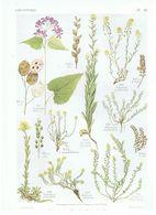 Gravure Flore PL. 46 Crucifères Lunaria Farsetia Vesicaria Alyssum Par Gaston Bonnier - Prints & Engravings