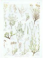 Gravure Flore PL. 47 Crucifères Alyssum Berteroa Par Gaston Bonnier - Prints & Engravings
