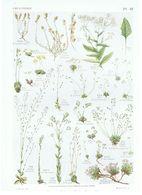 Gravure Flore PL. 48 Crucifères Clypeola Peltaria Draba Petrocallis Par Gaston Bonnier - Prints & Engravings