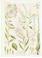 Gravure Flore PL. 49 Crucifères Roripa Armoricia Cochlearia Par Gaston Bonnier - Prints & Engravings
