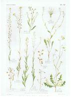 Gravure Flore PL. 51 Crucifères Camelina Neslia Calepina Subularia Bunia Par Gaston Bonnier - Prints & Engravings