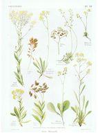 Gravure Flore PL. 52 Crucifères Isatis Biscutella Par Gaston Bonnier - Prints & Engravings