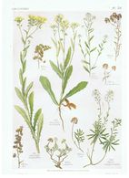 Gravure Flore PL. 53 Crucifères Biscutella Iberis Par Gaston Bonnier - Prints & Engravings