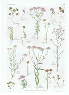Gravure Flore PL. 54 Crucifères Iberis Par Gaston Bonnier - Prints & Engravings