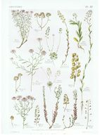 Gravure Flore PL. 55 Crucifères Iberis Teesdalia Aethionema Thlaspi Par Gaston Bonnier - Prints & Engravings