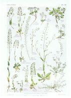 Gravure Flore PL. 56 Crucifères Thlaspi Capsella Hutchinsia Par Gaston Bonnier - Prints & Engravings