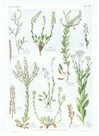 Gravure Flore PL. 57 Crucifères Lepidium Par Gaston Bonnier - Prints & Engravings