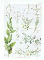 Gravure Flore PL. 58 Crucifères Lepidium Senebiera  Par Gaston Bonnier - Prints & Engravings