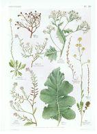 Gravure Flore PL. 59 Crucifères Cakile Rapistrum Crambe Par Gaston Bonnier - Prints & Engravings