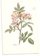 ROSA  - BIGLIETTO - Heilpflanzen