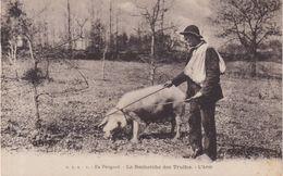 En Périgord : La Recherche De La Truffe . L'Arret . - Schweine