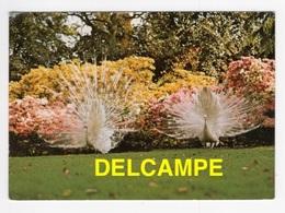 DF / ANIMAUX / OISEAUX / PAONS BLANCS À ISOLE BORROMEE LAC MAJEUR ITALIE - Uccelli