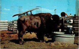 "Oklahoma Afton Giant Buffalo ""Black Barney"" AAt Buffalo Ranch 1959 - Etats-Unis"
