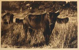 """CPA. - Photo George Arles - """"LOU MAMAÏ """" Redoutable Toro Cocardier De La Manade AUBERT Frères Du Petit-Badon - Salins De - France"""