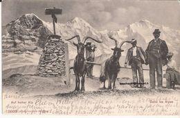 Suisse - Berne - Faulhornspitze - Auf Hoher Alp - Dans Les Alpes Chevre Ziege Goat - BE Berne
