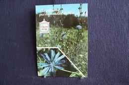 MO-356 -  Fleurs, Plantes & Arbres  Fleurs,  Ces Plantes Qui Vous Veulent Du Bien . Chicorée  Sauvage -  Circulé, - Heilpflanzen