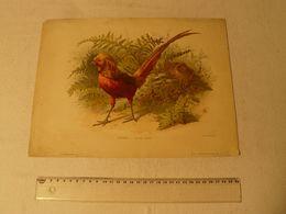 Lithographie Vivien, Faisans Dorés. R.Laurens édit. PI 96. Le Modèle N° Du 15/12/1895. Dim: 32.8 X 24.8 Cm. - Lithographies
