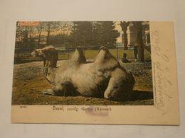 Basel, Zoologischer Garten (kameel)  (A9p51) - BS Basel-Stadt