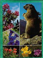"""Marmotte Fleurs Gentiane """"cachet Bleu Rasthaus Timmelsjoch 2509 M G. Streiter"""" 2scans - Oetz"""