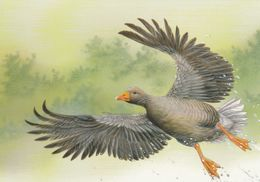 BUZIN. OIE CENDREE - 1985-.. Birds (Buzin)