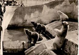Zoologischer Garten Zürich - Eis- Und Braunbären Im Gemeinsamen Zwinger (41) - ZH Zurich