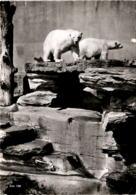 Zoologischer Garten Zürich - Eisbären (156) * 21. 10. 1955 - ZH Zurich