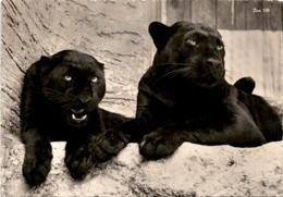 Zoologischer Garten Zürich - Schwarze Panther (135) * 4. 6. 1936 - ZH Zurich