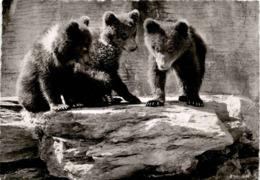 Zoologischer Garten Zürich - Junge Braunbären (231) * 8. 10. 1947 - ZH Zurich