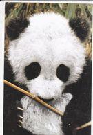 PANDA GEANT Mangeant Une Pousse De Bambou, Chine, Halte Au Massacre Des Pandas  WWF Carte Souple 1990 Environ - Other