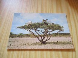 CPM Djibouti - Chèvres Sur épineux. - Gibuti