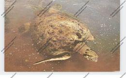SCHILDKRÖTEN / Turtles, Giant Sea Turtle Florida - Turtles