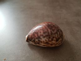Coquillage Moucheté - Coquillages
