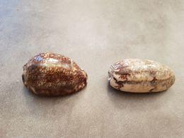 2 Coquillages D'Afrique - Seashells & Snail-shells