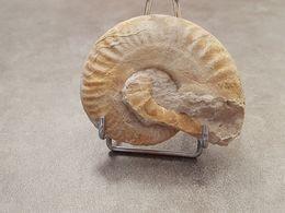 Escargot Fossilisé - Fossiles