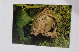 Crapaud. Kröte  Toad. - Druck Und Verlag Engadin Press AG. Foto Schmid, Amriswill - Other