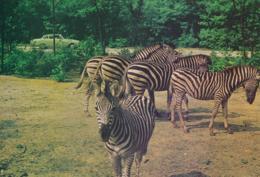 Arnhem - Burgers Safari - Zoo - Zebra's  [Z11-0.959 - Arnhem