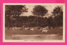 CPA (Réf: Z 3090) CAZAUX (33 GIRONDE) Troupean De Vaches Landaises - France