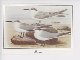 Sternes - Oiseaux De Mer (illustrateur N°0024 Yvon) - Birds