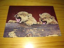 """Postcard """"Filhotes De Leão - Lionceaux Château De Troy En Yvelines"""" - Tigres"""