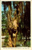 Louisiana Covington Cedar Tree With Live Oak Growing Out Of The Split - Etats-Unis