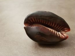 Gros Cauri Moucheté - Seashells & Snail-shells