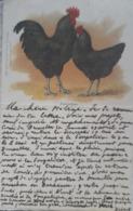 Poule Poulette Chicken Geflugel Oiseau Signe Race Langshan Verlag H. Stürtz. Old Postcard. Cpa. Ca. 1900« 52 » - Illustrators & Photographers