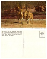 Axis Deer, St Louis Zoo, St Louis Missouri (8587) - Animali