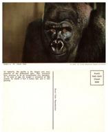 Gorilla, St. Louis Zoo, St Louis Missouri (8585) - Animali
