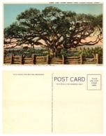 Giant Oak, Goose Island, Corpus Christi, Texas (8797) - Corpus Christi