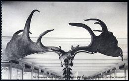 Musée Histoire Naturelle Bruxelles :  Cerf D'Irlande - Natural History Museum Brussels: Irish Deer - Museums