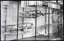 Musée Histoire Naturelle Bruxelles : Hainosaure De Bernard Mesvin Ciply Mons Hainaut - Natural History Museum Brussels - Musea